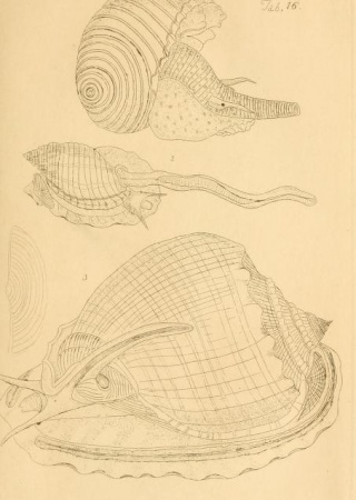 Figures of Molluscous Animals v. 1