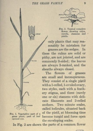 Grass plant and complete flower | First Book of Grasses, 1922, Biodiversity Heritage Library