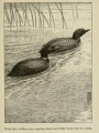 "Loons swimming: ""While their children were napping, Gavia and Father Loon went to a party."" 