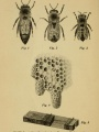 Queen bee, drone, worker, queen cells, Miller's cage | How to Keep Bees: A Handbook for the Use of Beginners, 1905, Biodiversity Heritage Library