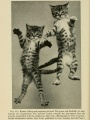 Kittens falling and preparing to land | Kinships of Animals and Man: A Textbook of Animal Biology, 1955, Biodiversity Heritage Library